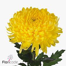 Chrysant. sgl. bislet yellow