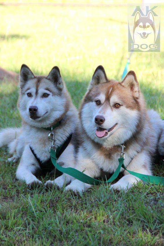 Adaptador de treinamento para três cães