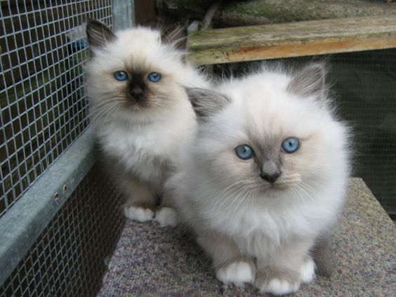 Birman cat club australasia | birman kittens sale, If club members have kittens…