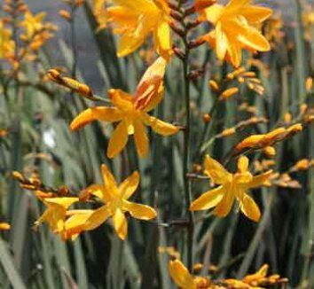 Crocosmia 'Solfaterre' for the front yard?