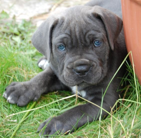 These eyes. | pits | Pinterest | Cane corso puppies