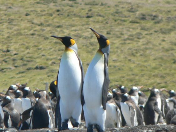 Penguins spotted while cruising by the Falkland Islands