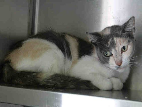 Meet PENNY, an adoptable Domestic Short Hair looking for a forever home. If…