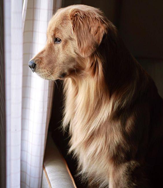 Golden watch dog