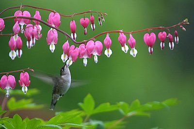 Bleeding Hearts...going to get one of these next, the most Beautiful plant!