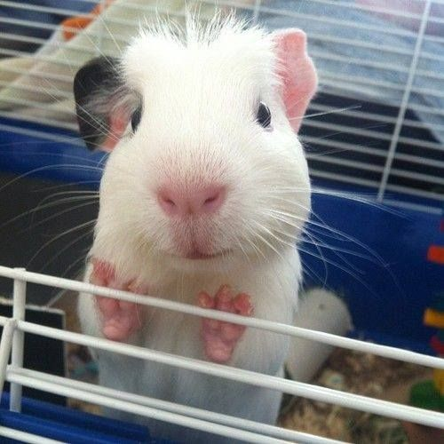 Little Cutie Wants To Say Hello ☺☺☺ The Guinea Pig Food