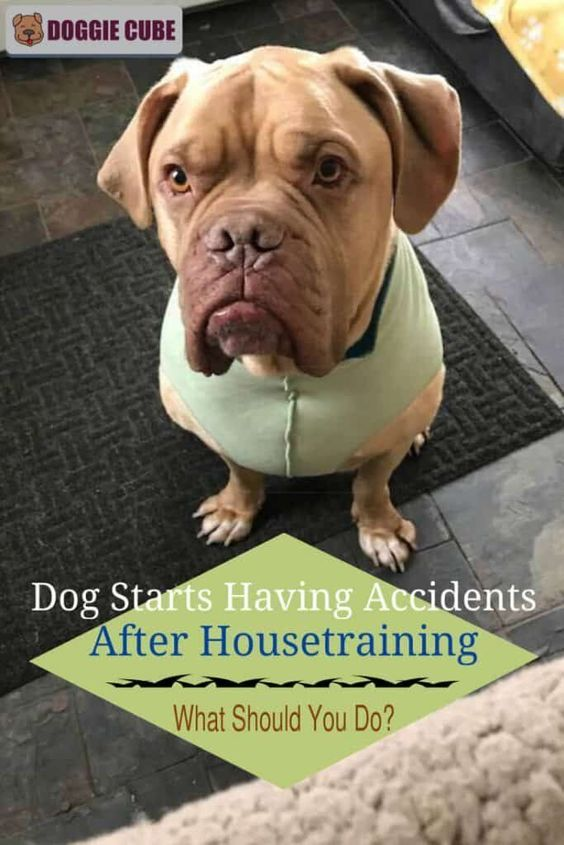 Dog Starts Having Accidents After Housetraining What Should You