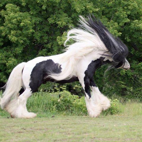 Los caballos Gypsy Vanner; considerados los más hermosos del mundo.