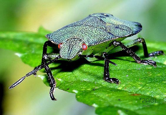 Palomena prasina | Green Shield Bug - wee tiny nymph. Grüne … | Flickr