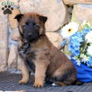 Belgian Malinois Puppies For Sale In 2020 Malinois Puppies For Sale Belgian Malinois Puppies Malinois Puppies