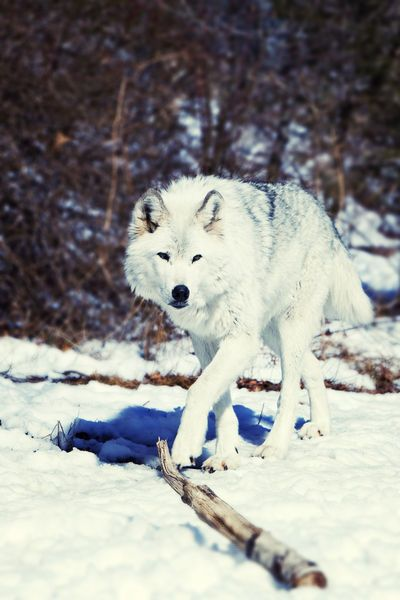'Day watch', A gray wolf in Lakota Preserve, New Jersey by Vladimir Gramagin: