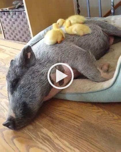 Patinhos estão descansando em cima do porco.