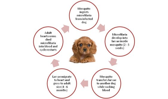 Your Guide To Heartworms In Dogs Dogs Die Off Symptoms Dogs