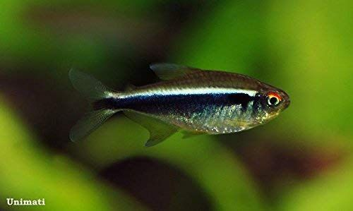 4 Black Neon Tetra 3 4 To 1 1 2 Freshwater Live Tropical Fish Neon Tetra Fish Black Neon