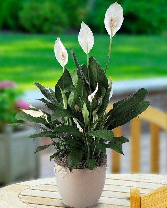 El espatifilo destaca por sus grandes hojas y sus características flores blancas que se levantan por encima. No necesita mucha luz y le van los ambientes húmedos, una buena planta para decorar el cuarto de baño.