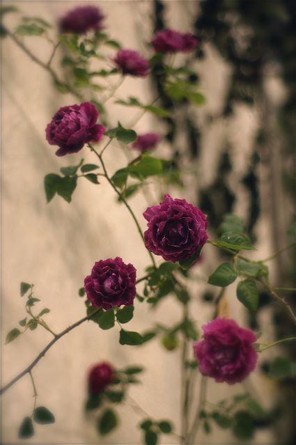 International Roses & Gardening Show 2012
