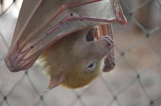 a blonde bat