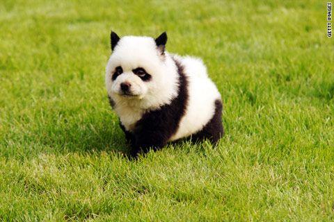 Panda Puppy!