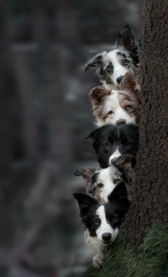 Via Kaufmannspuppy Collie Puppies Dogs Beautiful Dogs