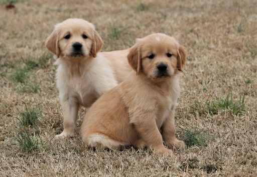 Litter Of 7 Golden Retriever Puppies For Sale In Clements Md Adn