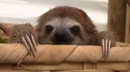 Cute baby sloth video! Little sloths squeak and cry like babies, adorable!