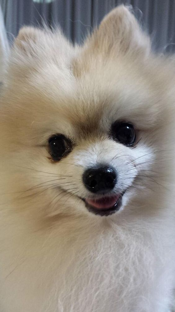 pomeranian dog names pomeranian my baby girls poms pinterest dog names 2256