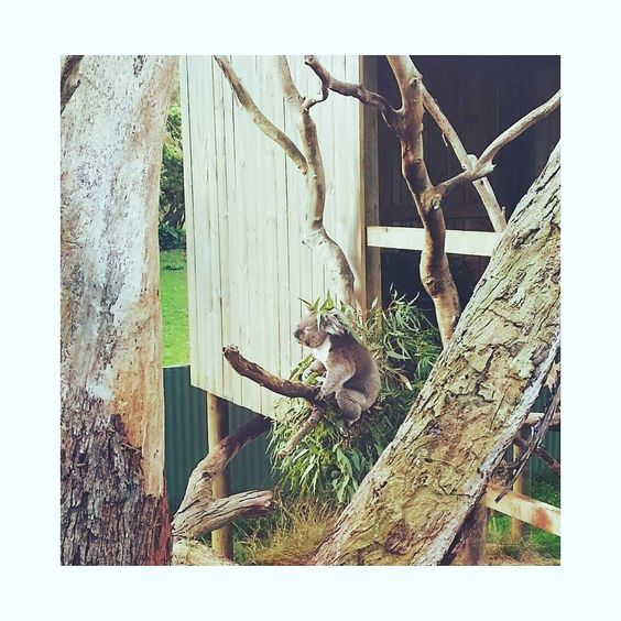 Koala Bear with new hairstyle  #photooftheday #photographer #throwback #sgphotography #sgphotographer #koala #australia #melbourne #winter #canon700d #horizon #sunrise  #photoshoot #note3 #animal  #photograph #sg #sgcollection #landscape #koalabear #farm  #landscape_lovers #greatoceanroad #snapshot by mr.dreamer_88