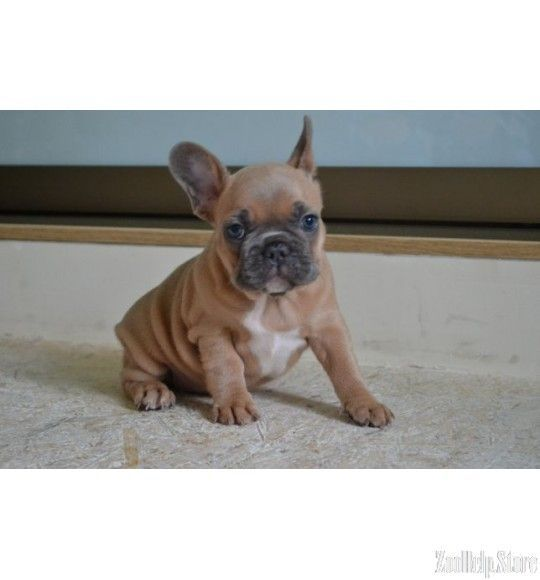 French Bulldog Exclusive Puppies Price 1 400 Bulldogfrenchie
