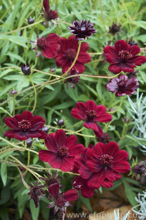 Black Cosmos Or Chocolate Cosmos Cosmos Atrosanguineus A Tuberous Summer To Autumn Flowering Dahlia Like Perennial From Mexico The Very Dark Flowers Are