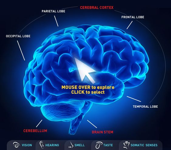 comparison of brain structure in mammals The rule for understanding vertebrate brains is that the brain structures in  supposedly lower animals, like frogs, are also present in supposedly.