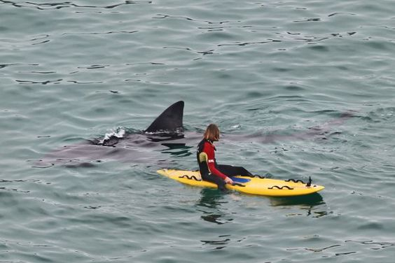 A massive shark swam up behind a surfer in Cornwall. PIC: RACHEL HOSKEN/APEX 27/05/2016 Lifeguards at a beauty spot beach had a close encounter to remember on Friday with a 22 foot long giant shark. The monster fish dwarfed the pair as it investigated them when they were on their paddle boards at Porthcurno in Cornwall. It was part of a group of four basking sharks gently feeding on plankton just yards from shore. The lucky lifeguards were afforded a privileged view of the gentle giants swimming