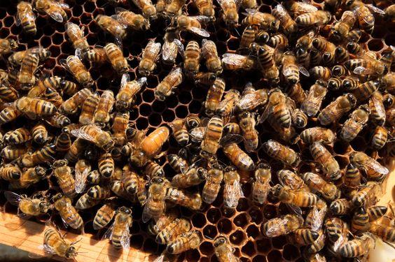 Japanese beekeepers