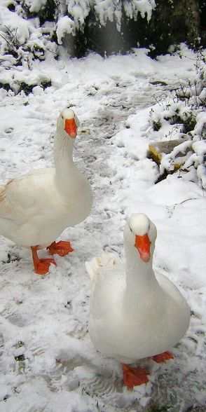 Patos salvajes.