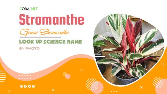 Look up Science Name by Photos: All species from genus Stromanthe