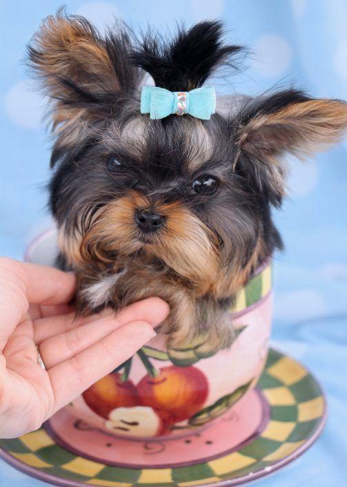 Tiny Teacup Yorkie Puppy By Teacupspuppies Com Pomeranianyorkie Yorkiepuppysale Yorkie Puppy Basic Dog Training Yorkie