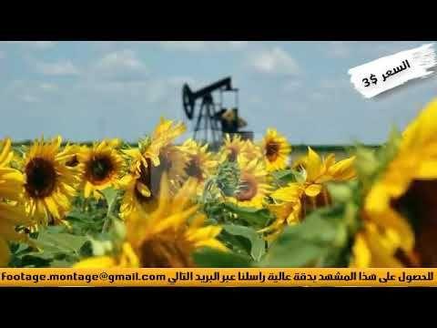 مشهد لنبات دوار الشمس يتمايل مع الرياح لأعمال المونتاج 1245424 Plants