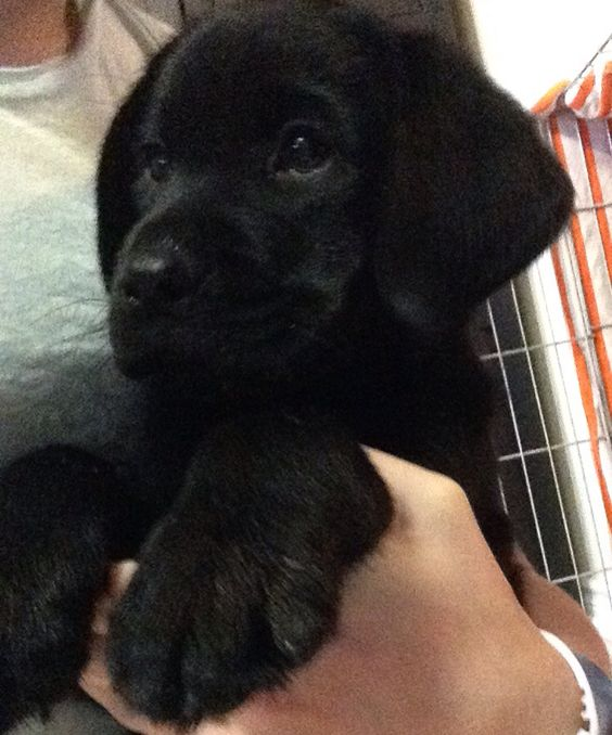 Got this little cinnamon roll today. His name is Hunter and he's a Black Labrador