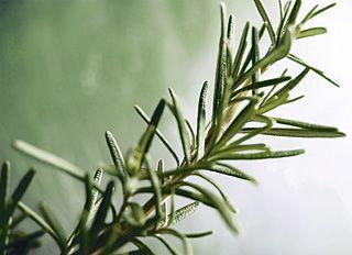 Plantas aromáticas - Alecrim