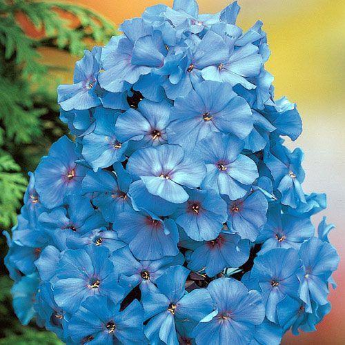 Blue Boy Phlox Phlox Flowers Tall Phlox Flower Seeds