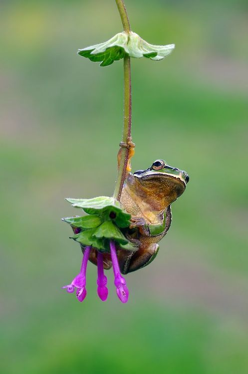 swinging from a flower...tree frog