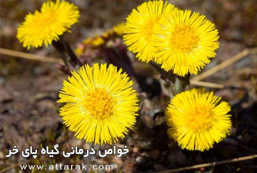 خواص درمانی پای خر عطارک فروشگاه آنلاین محصولات گیاهی Plants Flowers Dandelion