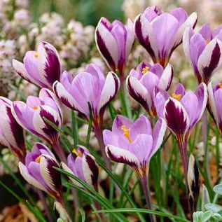Wild Crocus: Zone 6, perennial, very early spring blooms, full or half sun, easy to grow