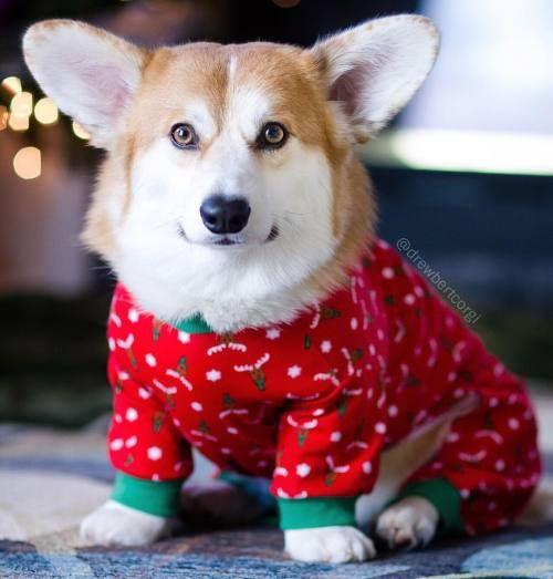 Pin By Sally Burns On Little Gifts Christmas Dog Costume Welsh Corgi Puppies Pembroke Welsh Corgi Puppies