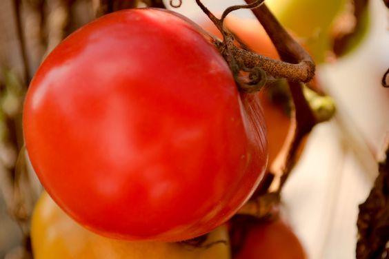 <3 Tomates do quintal