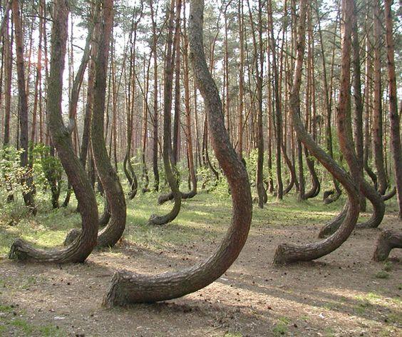 Los misteriosos árboles curvados de Nowe Czarnowo En las proximidades de la localidad de Nowe Czarnowo (Polonia) se encuentra este pequeño bosque de cuatrocientos pinos. Su singularidad es que en la base todos sus troncos aparecen doblados en un ángulo de  90 grados al norte.:
