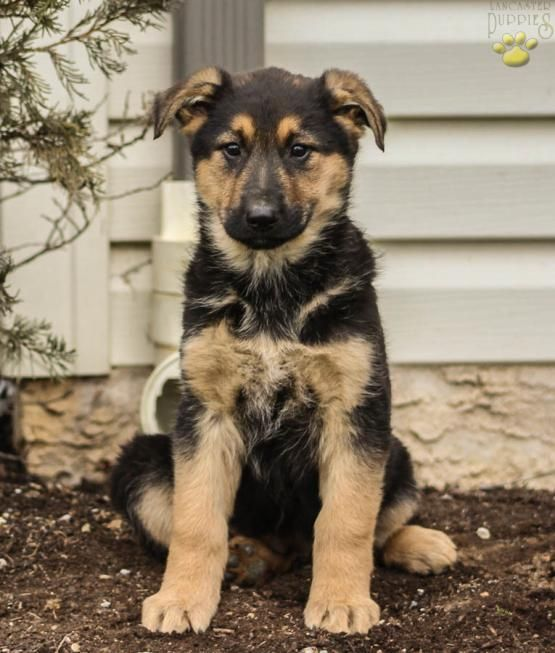 Gigi German Shepherd Puppy For Sale In Coatesville Pa