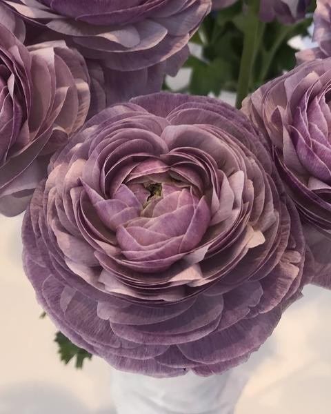 Ranunculus Elegance Malva In 2020 Ranunculus Flowers Bulb Flowers Ranunculus