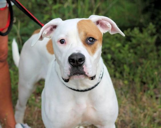 Billy, 10- to 12-month-old Great Dane/American Bulldog mix  Kids 7 or older, no cats Selective with dogs.  Billy is a doll! He's very sweet, young, and loves to be petted.