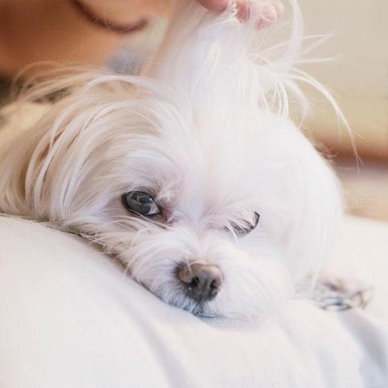 Seems someone doesn't know I spend 2 hours everyday styling my hair! ✌️ ・・・ #donttouchmyhair #momandsontime ・・・#maltese Toda la información y productos especializados para el la raza perro maltés