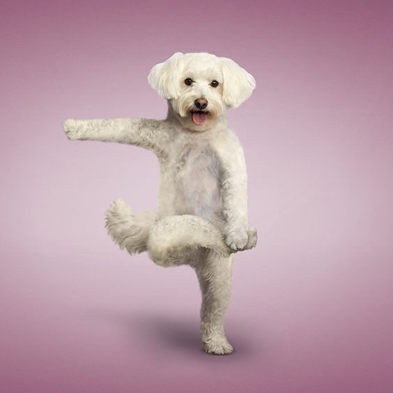 "••Yoga Dogs•• 2014 Calendar by photographer Dan Borris • ASIN: B00C20QBF4 • $9 via Amazon • depicted: Tree pose by Guru ""Charlie"""